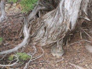 1bunny at Black Canyon