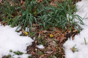 Saddest daffodils ever.